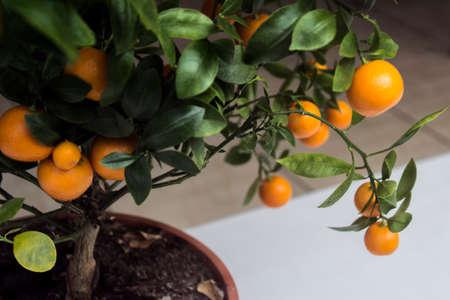 citrus tree: Mini citrus  tree with orange fruits Stock Photo