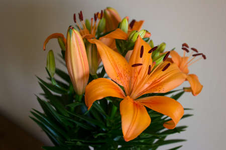 Orange lillies with spots on petals on light background. Home plants.