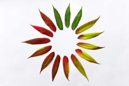 Gradient colored leaves arranged in a circle. Autumn leaf coloration. Autumn colors - chlorophyll, anthocyanins and carotenoids.