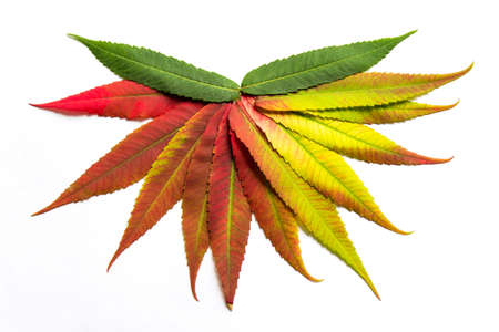 coloration: Gradient colored leaves arranged in a half circle. Autumn leaf coloration. Autumn colors - chlorophyll, anthocyanins and carotenoids. Stock Photo