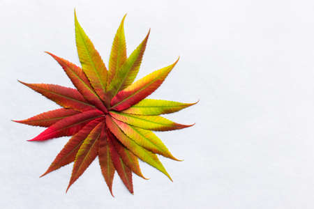 coloration: Gradient colored leaves arranged as flower. Autumn leaf coloration. Autumn colors - chlorophyll, anthocyanins and carotenoids. Stock Photo