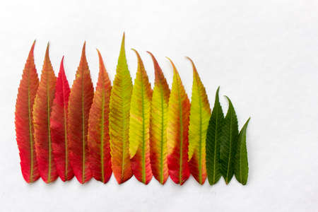 Gradient colored leaves arranged in a row. Autumn leaf coloration. Autumn colors - chlorophyll, anthocyanins and carotenoids.