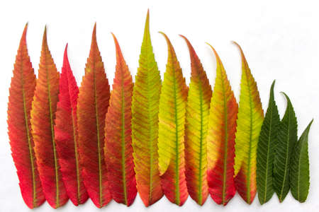 Gradient colored leaves arranged in a row. Closeup. Autumn leaf coloration. Autumn colors - chlorophyll, anthocyanins and carotenoids. Stock Photo