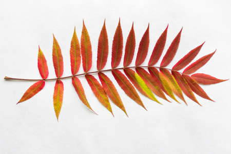 predominant: Twig with gradient autumn red leaves. Autumn leaf coloration. Autumn colors - chlorophyll, anthocyanins and carotenoids. Stock Photo