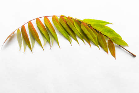 Twig with green leaves. Autumn leaf coloration. Autumn colors - chlorophyll, anthocyanins and carotenoids.