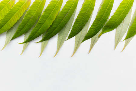 predominant: Green leaves on white background at the top of image Stock Photo