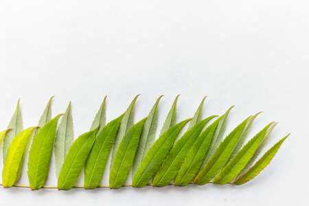predominant: Green leaves on white background at the bottom of image Stock Photo