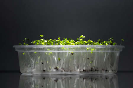 broccoli sprouts: Home grown microgreens - broccoli sprouts isolated on dark backgound. Sprouts are source of myrosinase enzyme and sulforaphane as anticancer treatment.