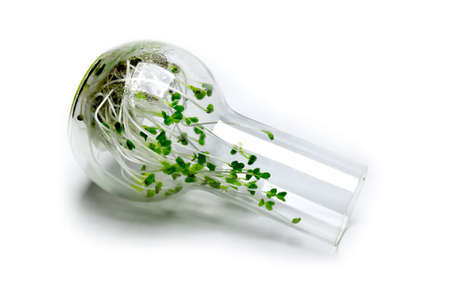 Broccoli sprouts, microgreens, grown in a glass flask.