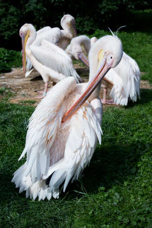 Great white pelicans standing on grass.  Stock Photo