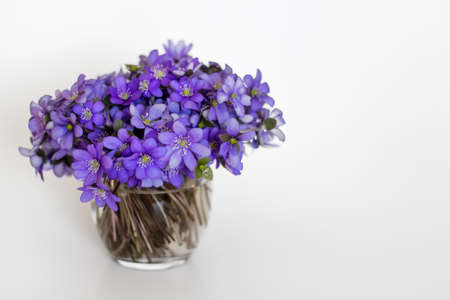 liverwort: Hepatica purple flowers in a small glass vase on white background. Stock Photo