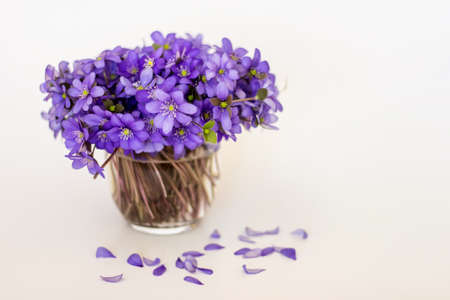 Hepatica purple flowers with flalen petals in a small glass vase on white background.