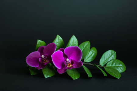 Composition of house plants of Zamioculcas zamiifolia or ZeeZee plant branch with pink orchids on dark background. Stock Photo