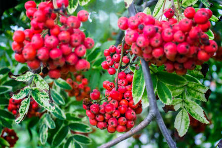 Red rowan berries hanging on the branch.
