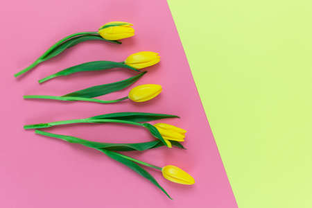 Yellow tulips on pink and yellow background with space for text.