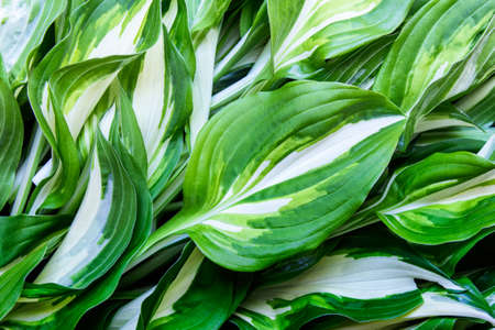 Background with leaves of garden plant Hosta.