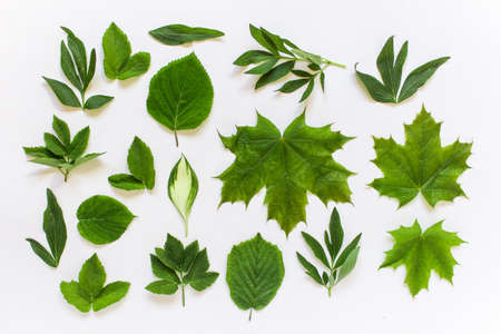 Set collection of forest garden and wild plant leaves on white background. Peony, large maple, Hosta etc plants leaves.