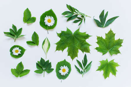 Set collection of forest garden and wild plant leaves on white background. Peony, maple, Hosta, daisies etc plants leaves.