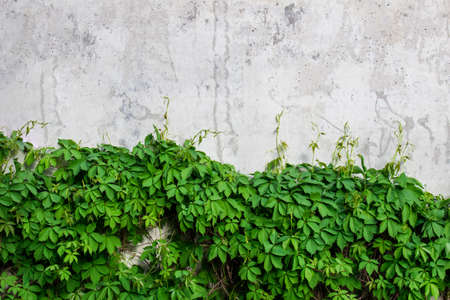 Green vine leaves growing along the gray textured concrete wall.