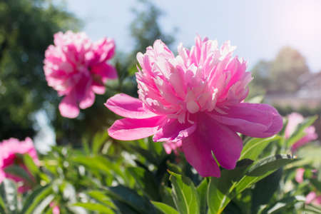 Peony flowers with pink petals growing in a garden on a sunny day. Banco de Imagens