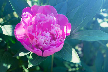 Single peony flower with pink petals on the background of dark green foliage. Photo tinted with blue tint. Banco de Imagens