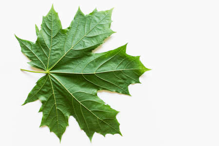 Large green maple leaf on white background. Photo with copy blank space. Banco de Imagens