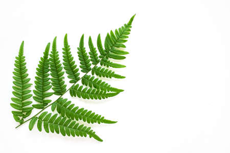 Large fern leaf on white background. Photo with copy blank space. Banco de Imagens