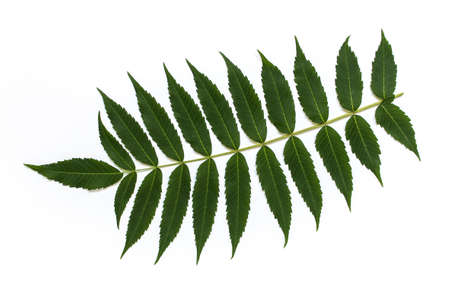 Branch of isolated garden plant with many separate leaves on white background.