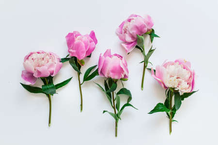 Five pink peony flowers with short stems and green leaves on white background.