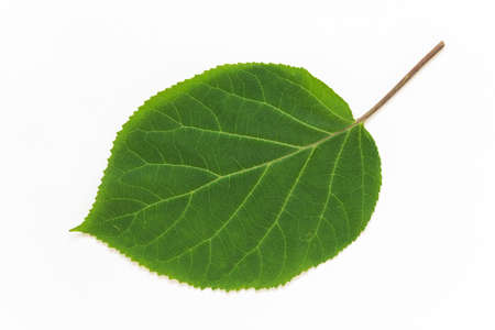 Front view of isoalted close up macro large wild leaf on white background.