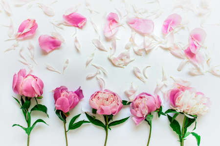Five romantic delicate peony flowers with pink separate petals on white background.