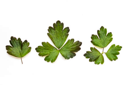 Three isolated wild forest plant leaves on white background. Banco de Imagens
