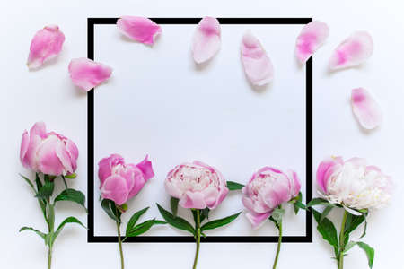 Pink peony flowers, petals and large square black border frame with copy blank space on white background.