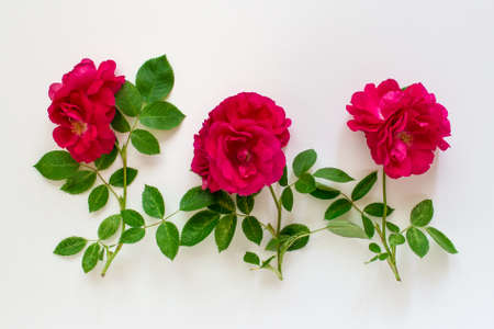 Romantic background with three red lavish tea roses on white background.