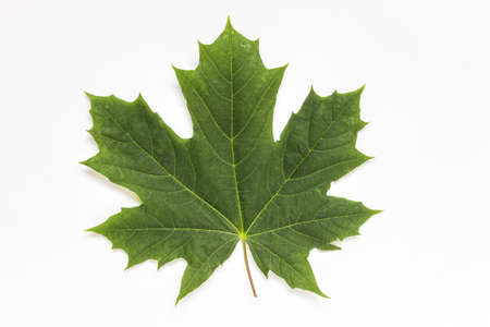 Front view of a single isolated green maple leaf on white background.