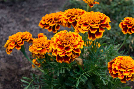 Banch of autumn summer orange Marigold tagetes flowers growing in a garden.