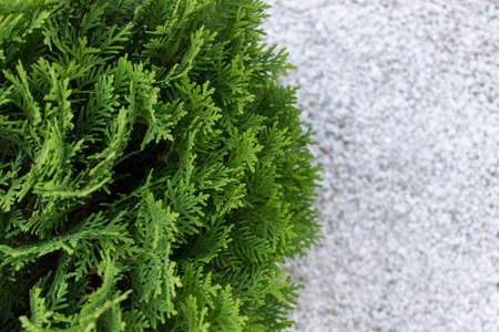 Top view of garden Thuja evergreen plant with defocused white pebbles stones. Photo with copy blank space. Reklamní fotografie