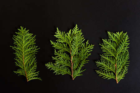 Three branches of Thuja evergreen garden plant on black background.