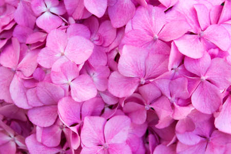 Close up of hydrangea pink flowers. Pattern with small hydrangea flowers.