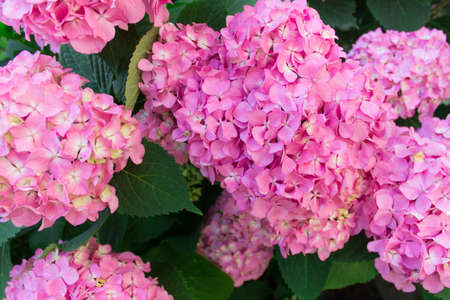 Close up of lavish bushes of pink hydrangea flowers with green leaves.