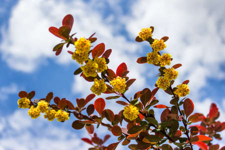 Branch of garden plant with small yellow flowers and red leaves on the background of blue summer skies.
