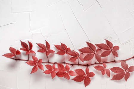 Branch plant with red wine leaves on white textured plaster background. Photo with copy blank space on top of image. Foto de archivo - 133548317