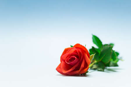 Valentine day love simple scene single red rose on white background. Photo with copy blank space and blue tint. Stockfoto