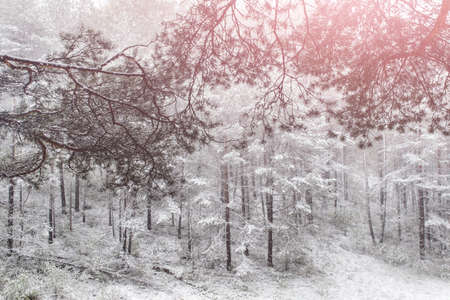 Winter scene of the forest covered with white snow and branches of pine trees. 免版税图像
