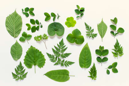 Set of wild forest plant leaves of various shapes on white background. Zdjęcie Seryjne