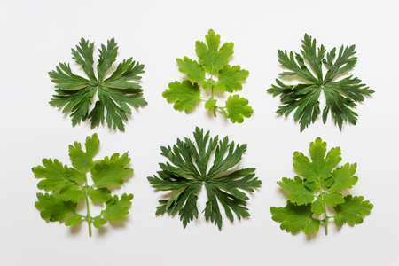 Flat lay with six complex shape textured forest plant leaves on white background.