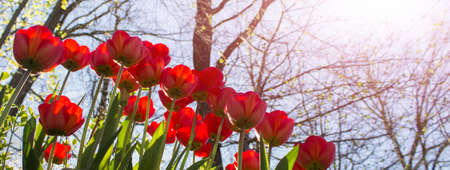Wide banner with red tulips and blue skies on bright spring day. 免版税图像