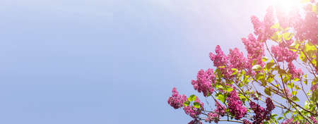 Wide summer banner with pink lilac tree in blossom on the background of blue sky. Image with copy blank space.