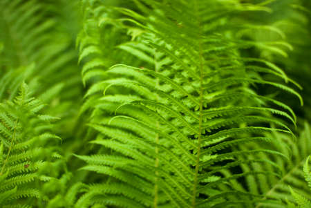 Beautiful background made with young green fern leaves. Green and macro leaves. Floral fern background