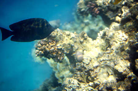 Black fish swim in the Red Sea in front of colored coral on a background of blue sea abyss.
